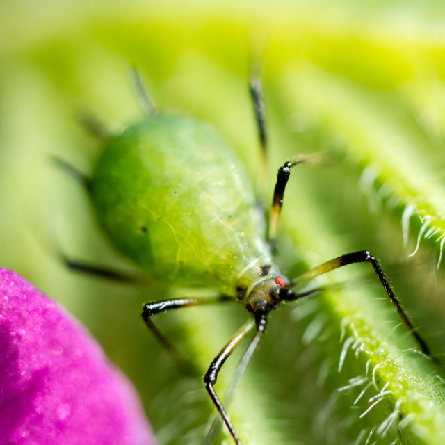 """Cereal Aphid"" stock image"