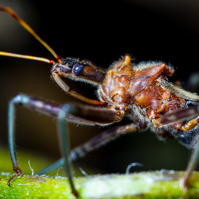 """Blue Eyed Assassin Bug"" stock image"