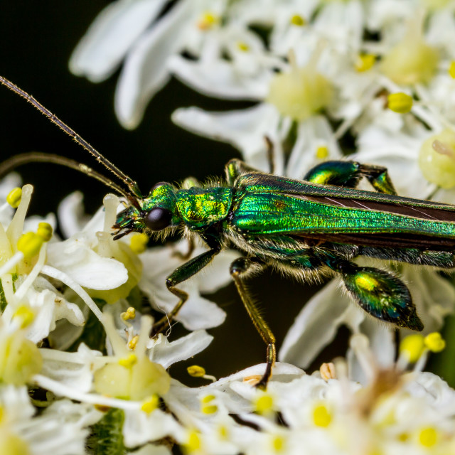 """Swollen-thighed beetle"" stock image"