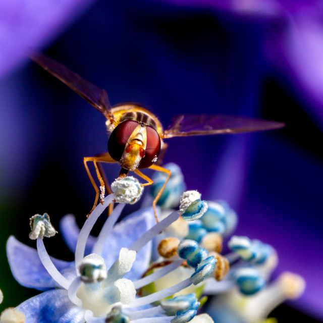 """Garden Hover Fly"" stock image"