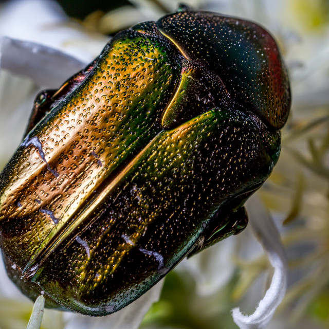 """The Rose Chafer"" stock image"