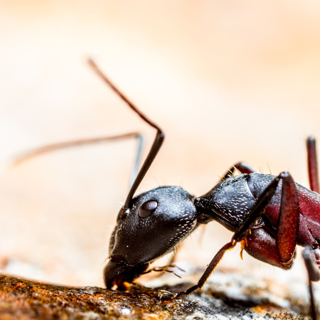 """Harvester Ant"" stock image"