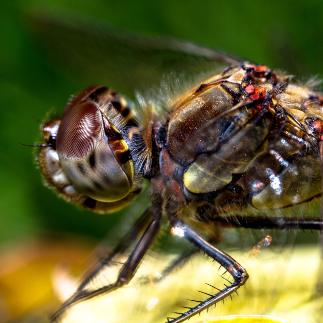 """Female Common Darter"" stock image"