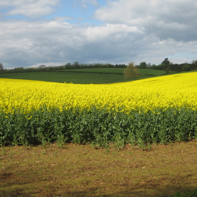 """Rape field"" stock image"