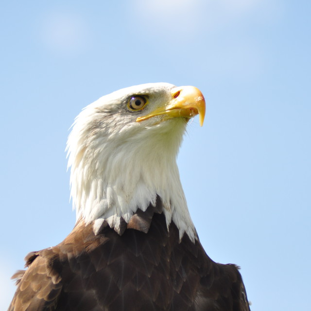 """Eagle at rest"" stock image"