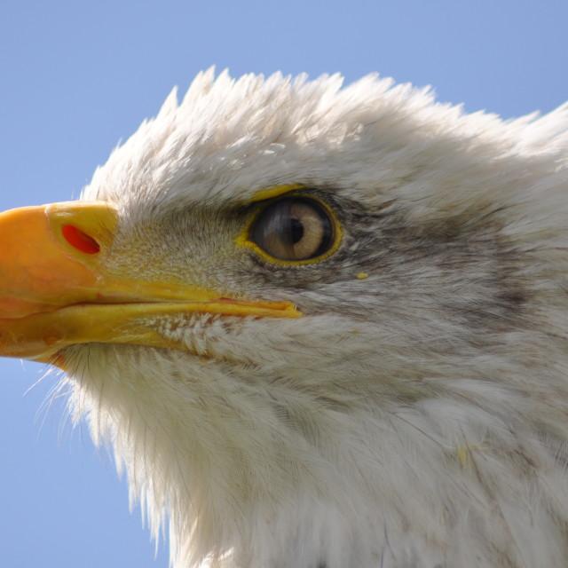 """""""Eagle waiting"""" stock image"""