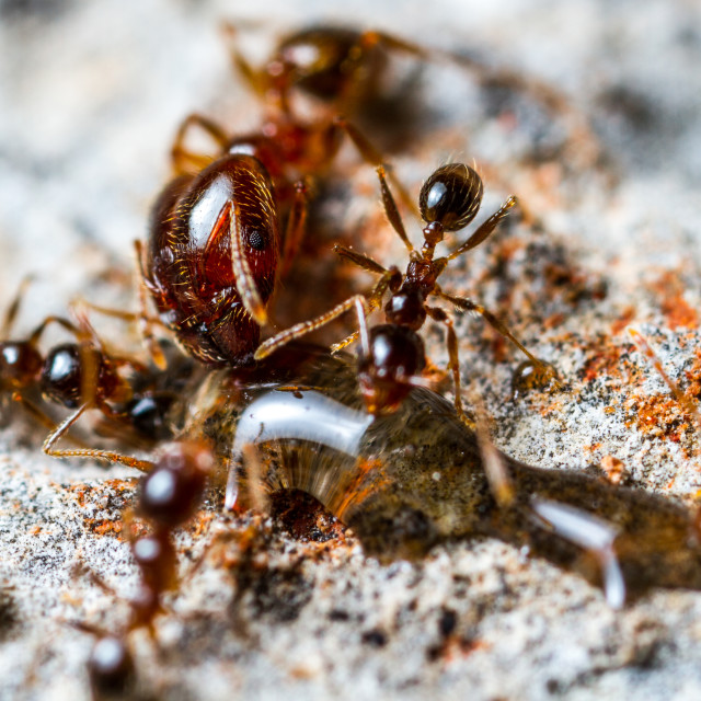 """Pheidole Ants drinking"" stock image"