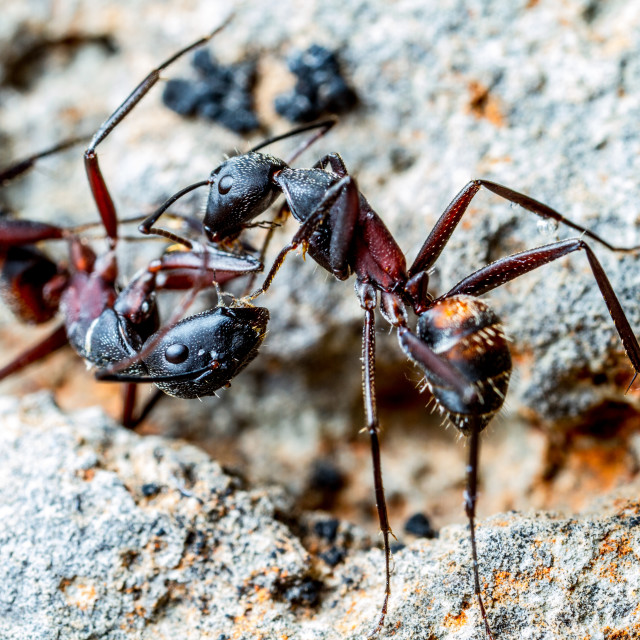 """Harvester ants kiss"" stock image"