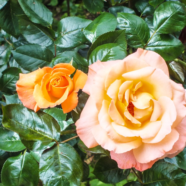 """Orange rose in bloom"" stock image"
