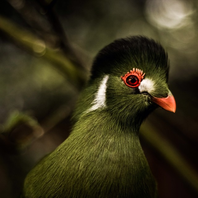 """Turaco"" stock image"