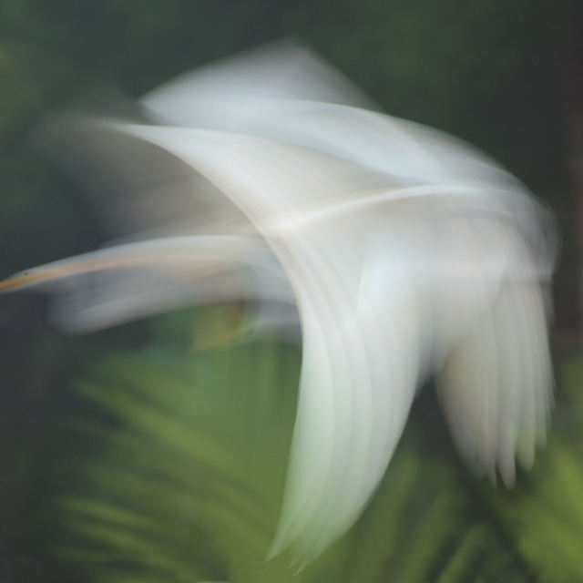 """Great White Egret - Costa Rica"" stock image"