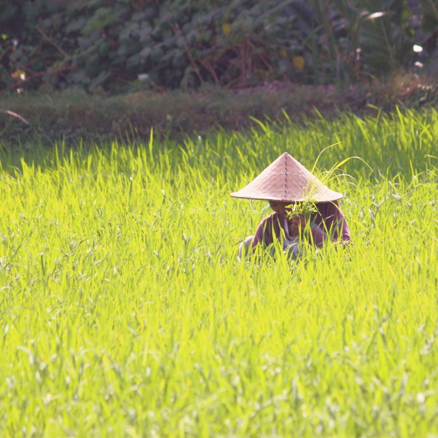 """Farmer in Lombok Indonesia"" stock image"