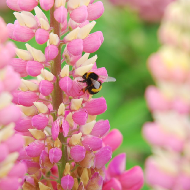"""Bee on lupin"" stock image"