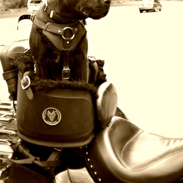 """motorbike dog"" stock image"