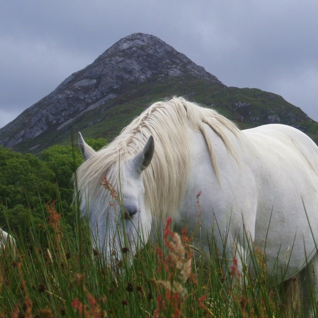 """Connemara Pony"" stock image"
