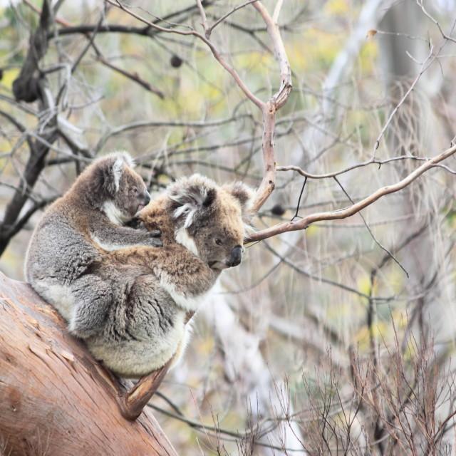 """Wild Koala family"" stock image"