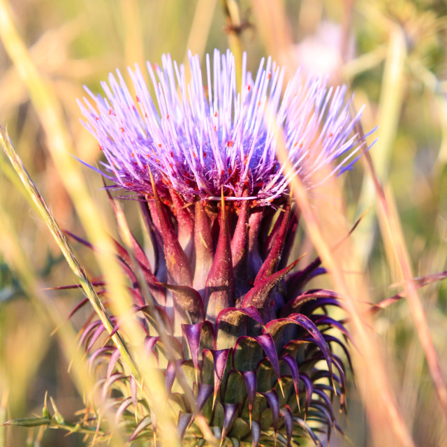 """""""Pink thistle"""" stock image"""