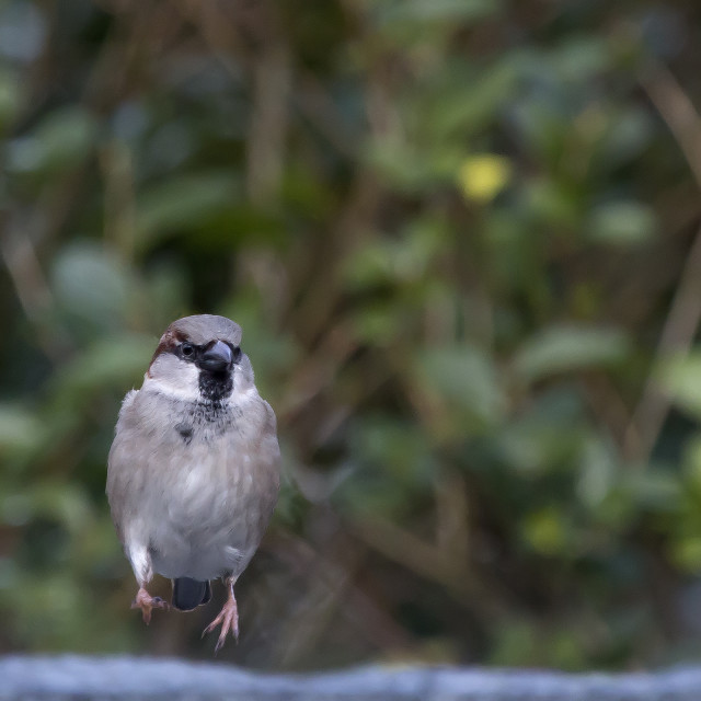 """Jumping Sparrow"" stock image"