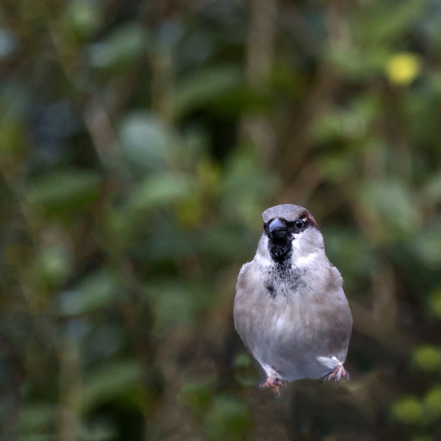 """Jumping Sparrow 2"" stock image"