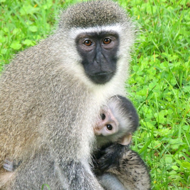 """Monkey mother and child"" stock image"