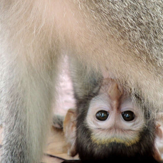 """Baby monkey"" stock image"