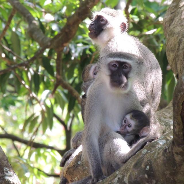 """""""Monkey family"""" stock image"""