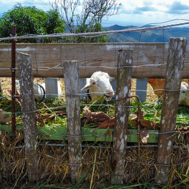 """St. Lucia - Goats"" stock image"