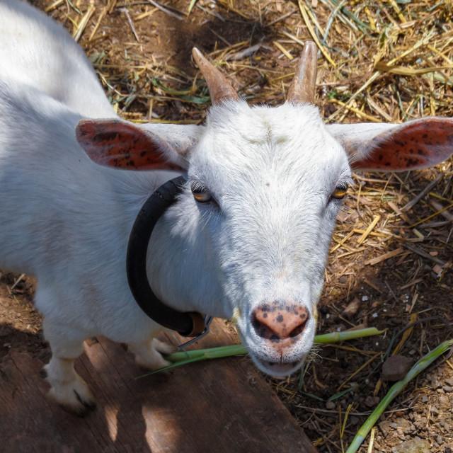 """St. Lucia - Goat"" stock image"