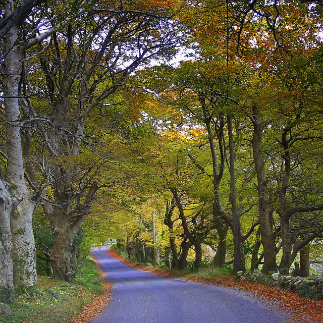 """Autumn Trees, Road to Kylemore"" stock image"