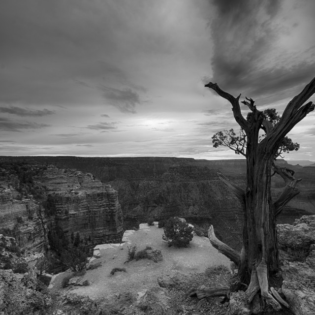 """A lonely tree stands guard on the edge of the Grand Canyon"" stock image"