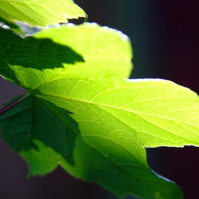 """""""Sunlit leaf"""" stock image"""