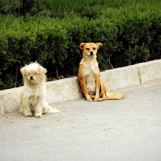 """Street dogs"" stock image"