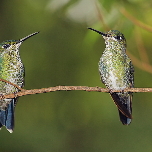 """Hummingbird Twins - Costa Rica"" stock image"