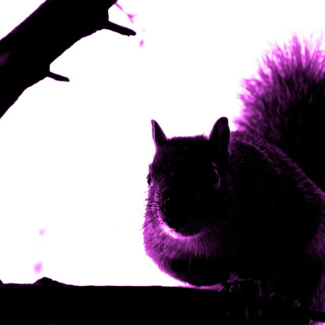 """Purple Squirrel"" stock image"