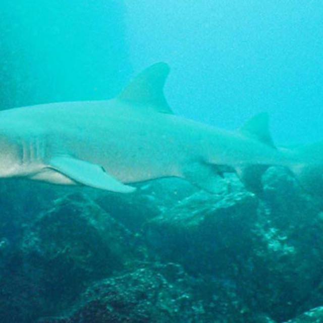"""""""White tip reef shark"""" stock image"""