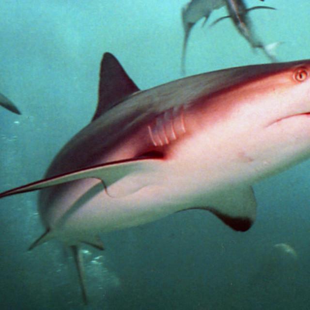 """Caribbean reef shark"" stock image"