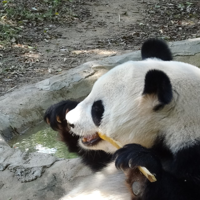 """Panda eating snack"" stock image"