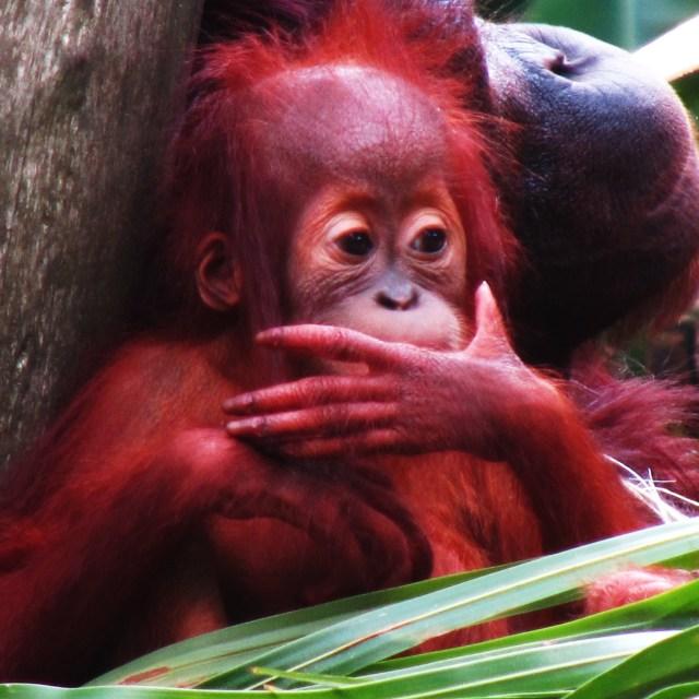 """Baby Orangutan"" stock image"