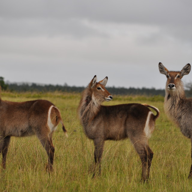 """Waterbuck staring into the distance"" stock image"