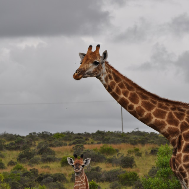 """Giraffe and baby"" stock image"