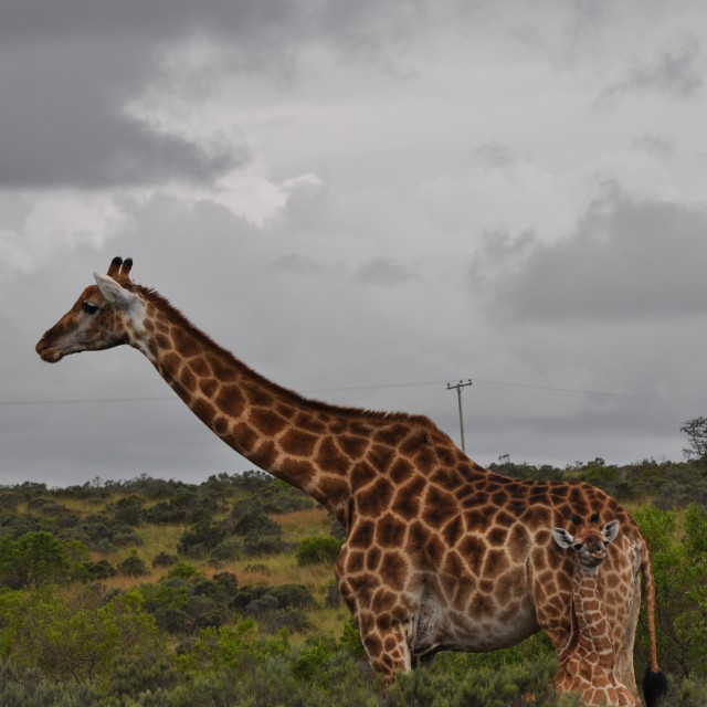 """Spot the Baby Giraffe!"" stock image"