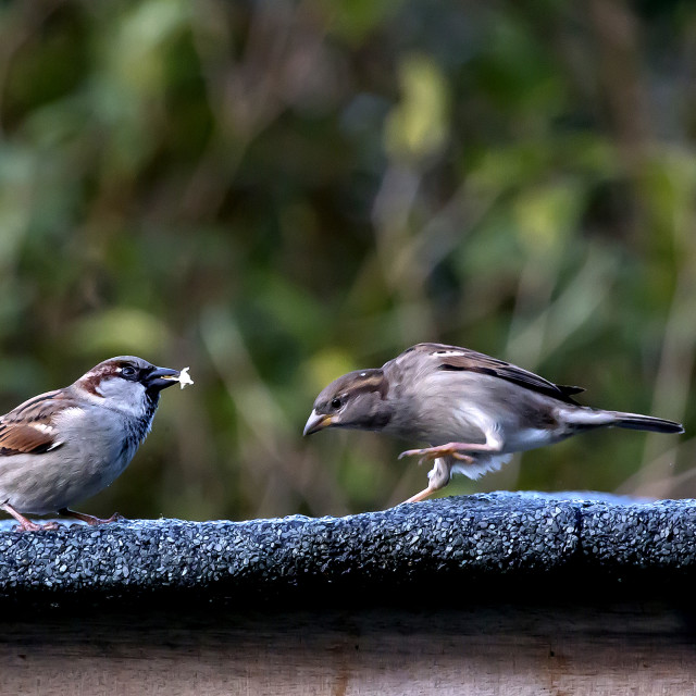 """Sparrow confrontation"" stock image"