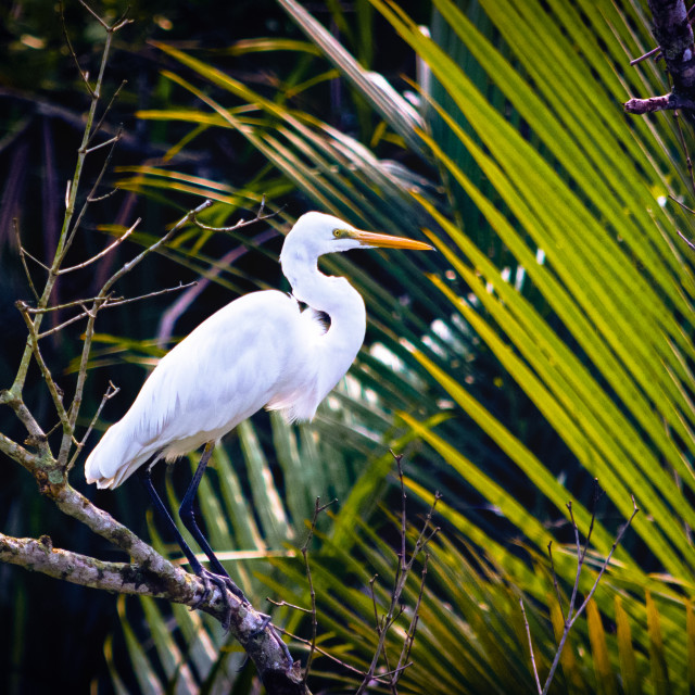 """Asian ""Great White Egret"""" stock image"