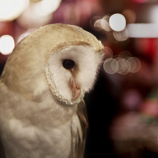 """Christmas Owl"" stock image"