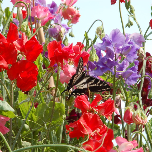 """Sweet Peas and Swallowtail"" stock image"