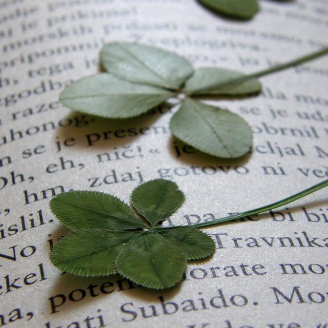 """""""Five-leaf clover"""" stock image"""