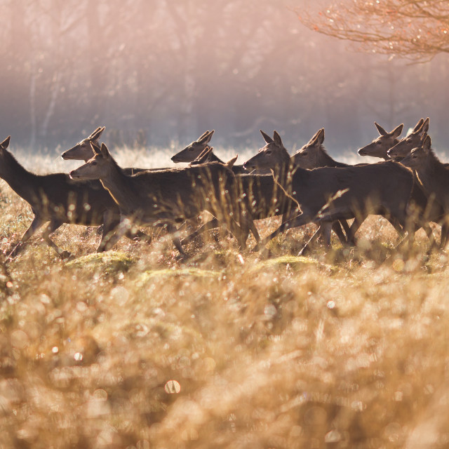 """Deer in Richmond Park"" stock image"
