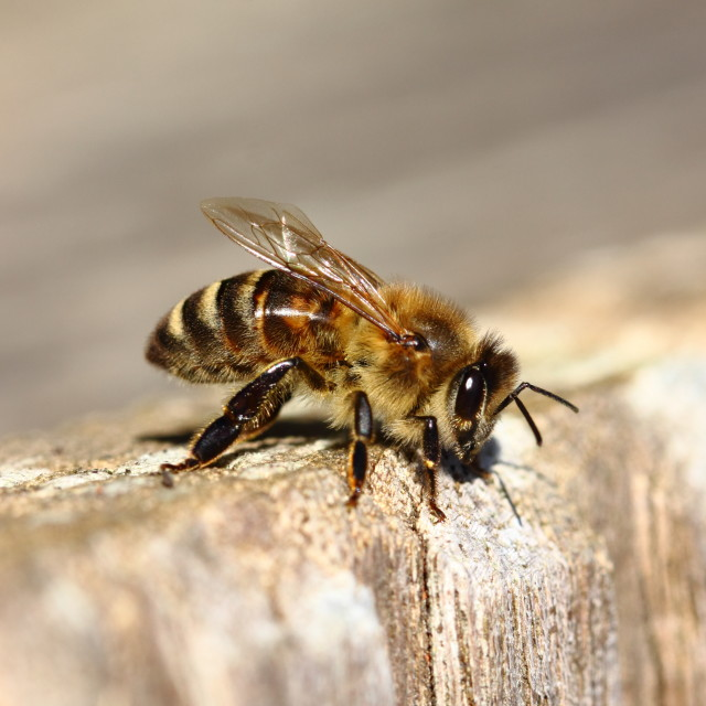 """First Bee"" stock image"