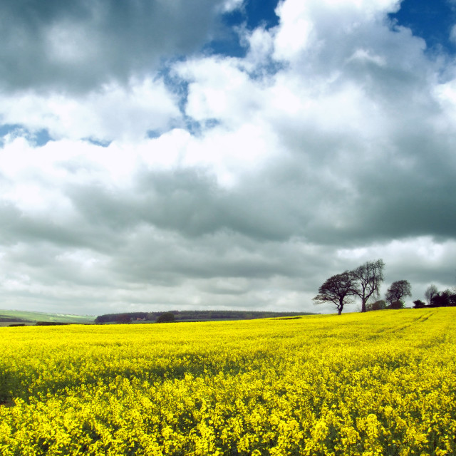 """Field of Yellow"" stock image"
