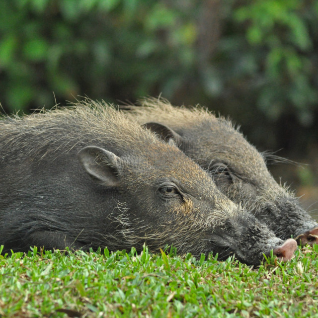 """Bearded pigs"" stock image"